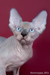 Котята породы канадский сфинкс.