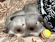 Продаю декоративных кроликов--вислоухий баран